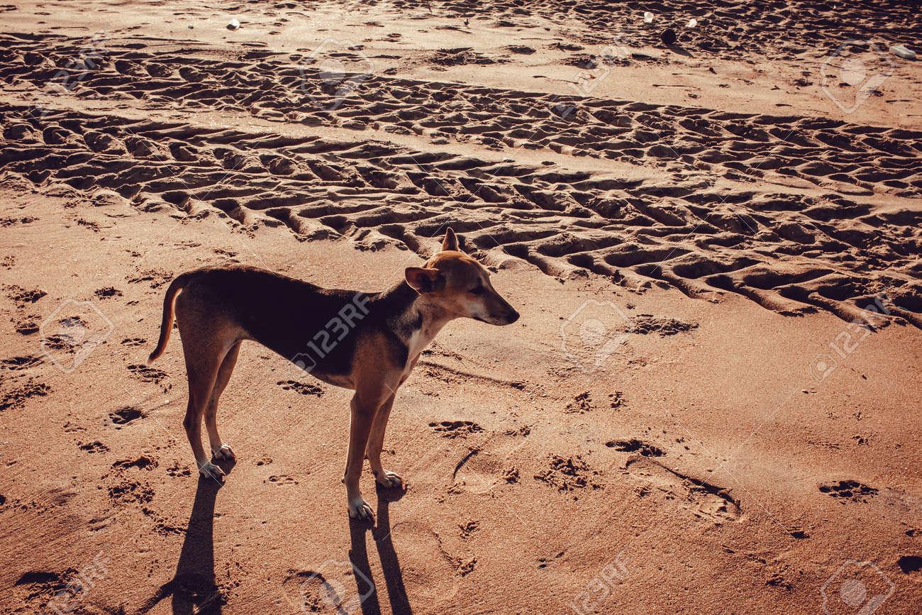 Street dog walking along beach sand of Mahabalipuram Beach. Dog in the sands - 166503884
