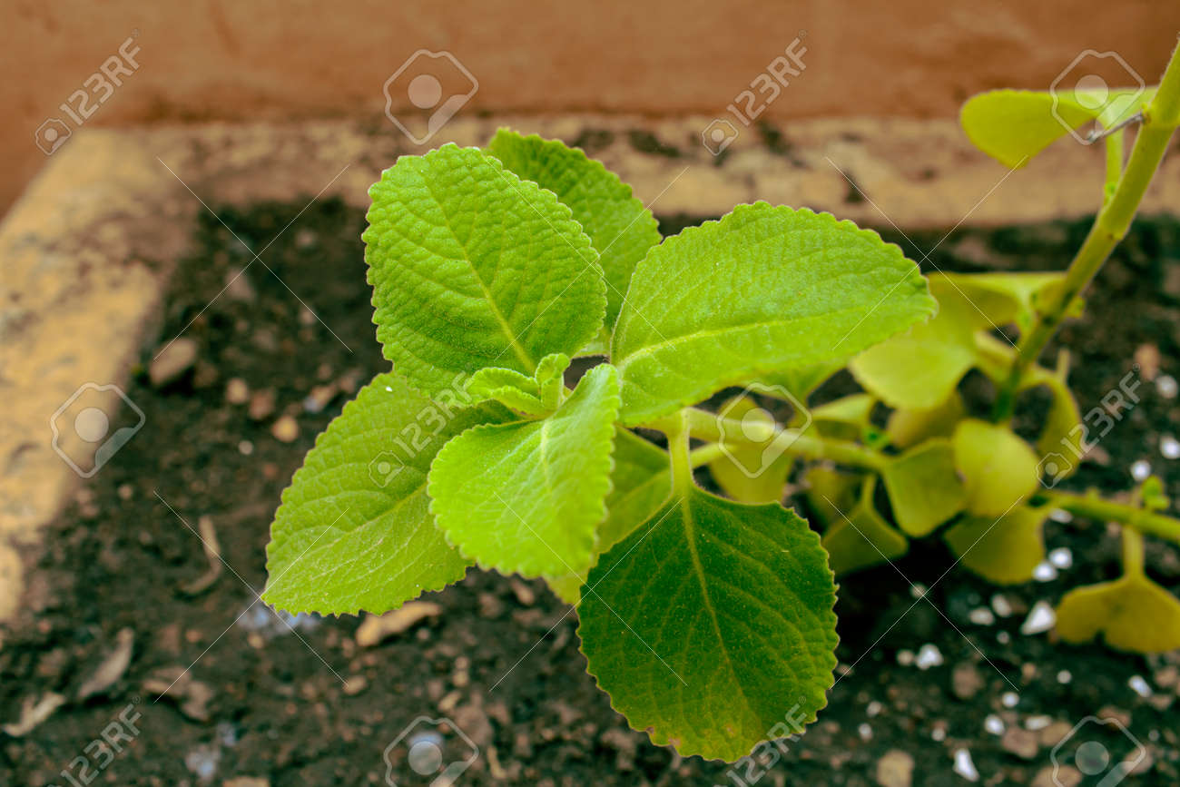 Fresh green leaves pattern of Indian borage, Country borage (Botanical name - Plectranthus amboinicus) - 170750585