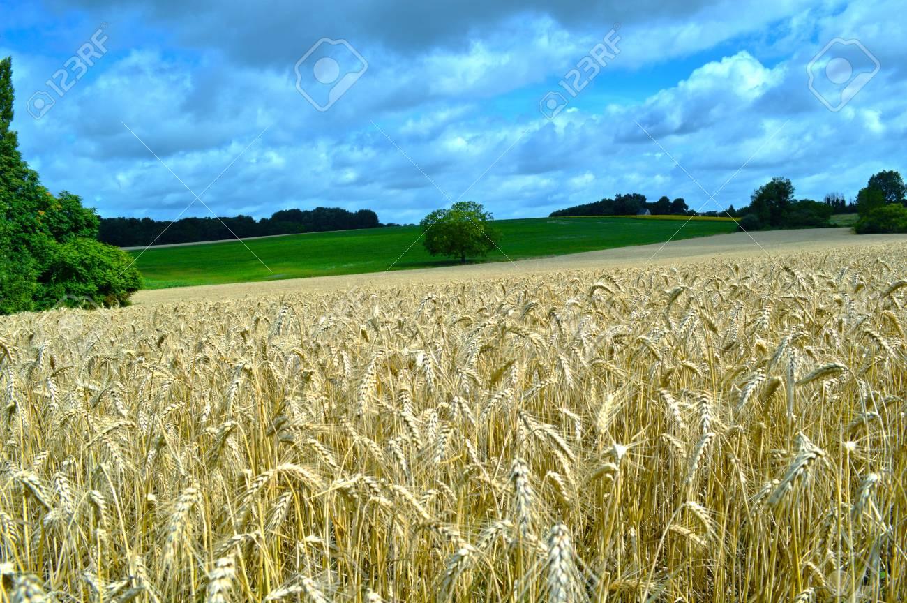 Wheat field in Loire valley Stock Photo - 21747684