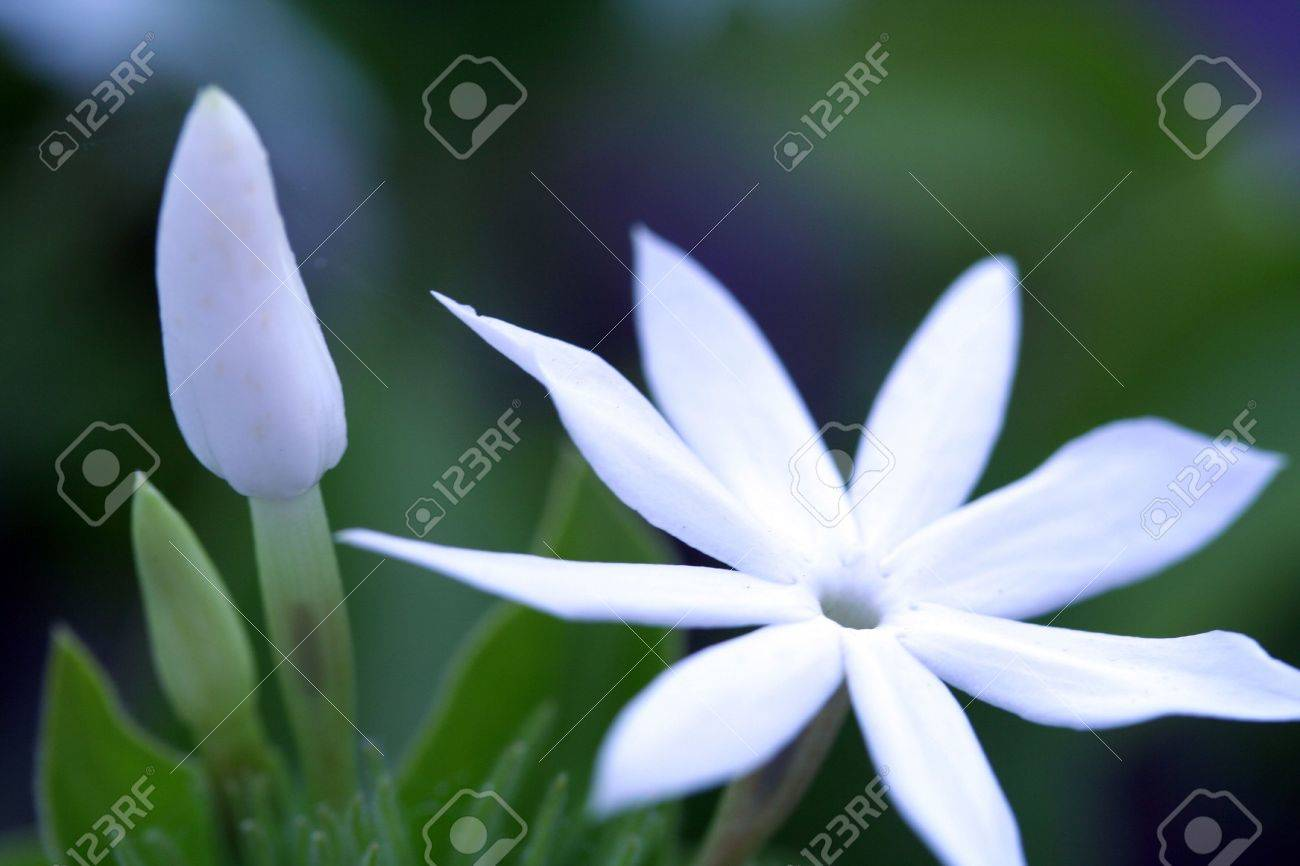 Beautiful White Flower In Hawaii Stock Photo Picture And Royalty