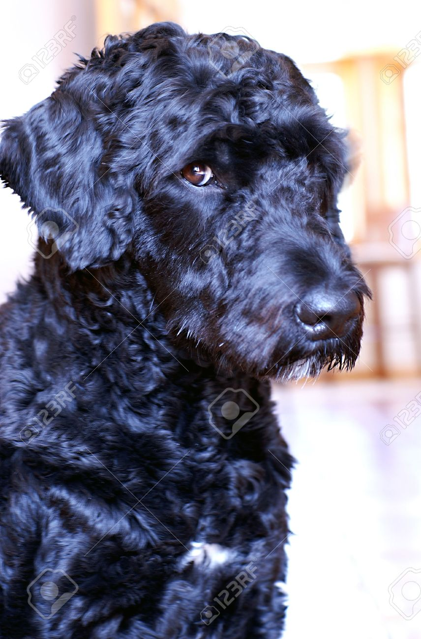 Portuguese Water Dog busted after stealing food off the countertop. - 2753963