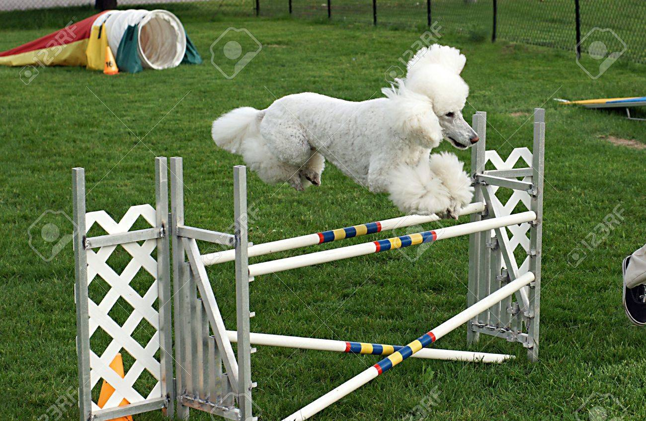 Standard poodle clears a double jump with ease in agility class - 3097521