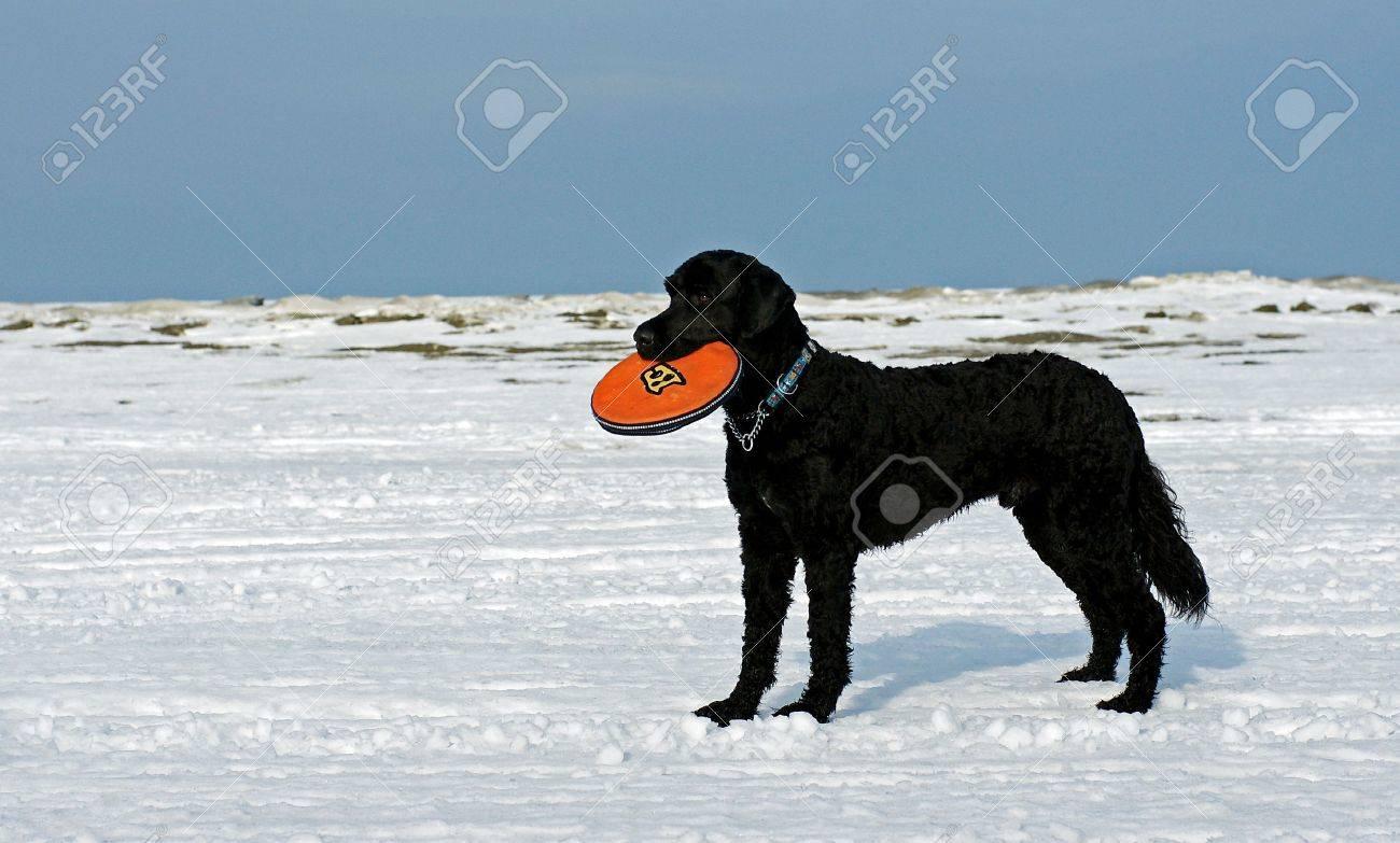 A Portuguese Water Dog Retrieves a frisbee on the frozen shore of Georgian Bay - 4317525
