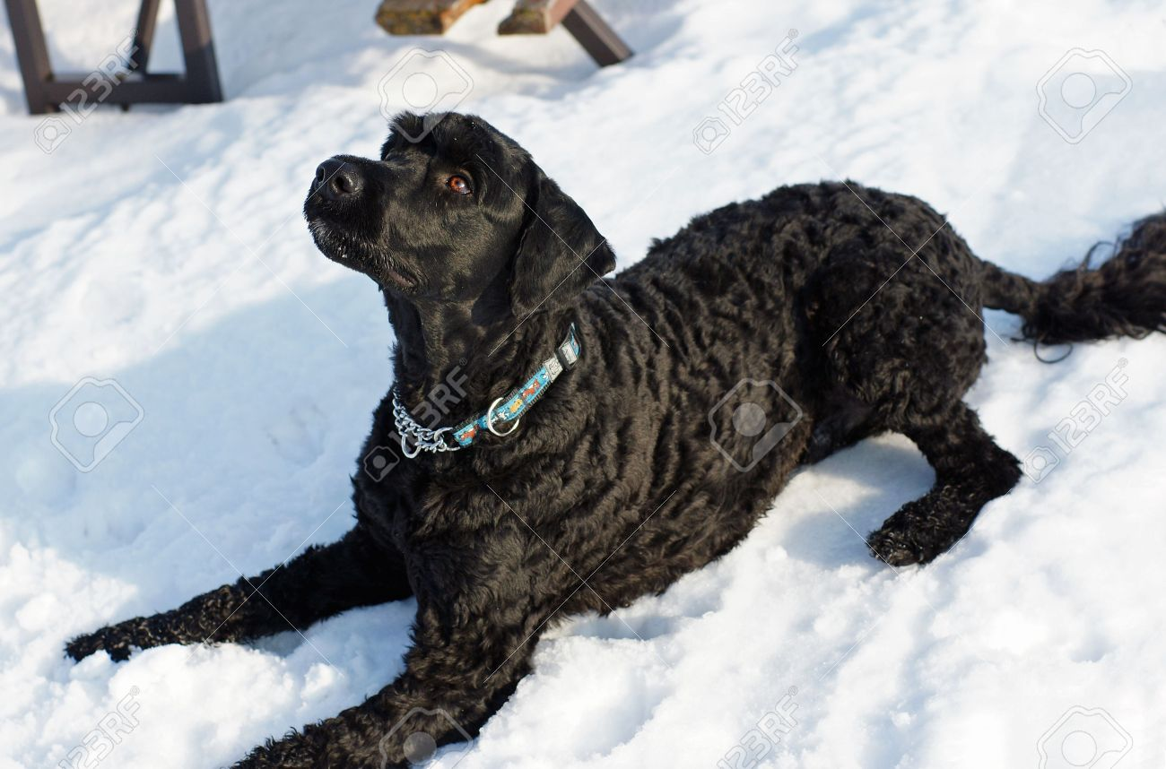 Two-year-old male Portuguese Water Dog stares attentively awaiting a command - 4317524