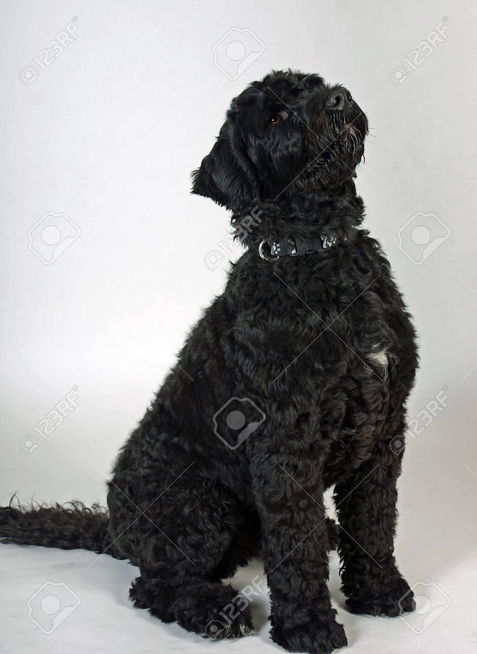 Black wavy-coated Portuguese Water Dog - 4702095
