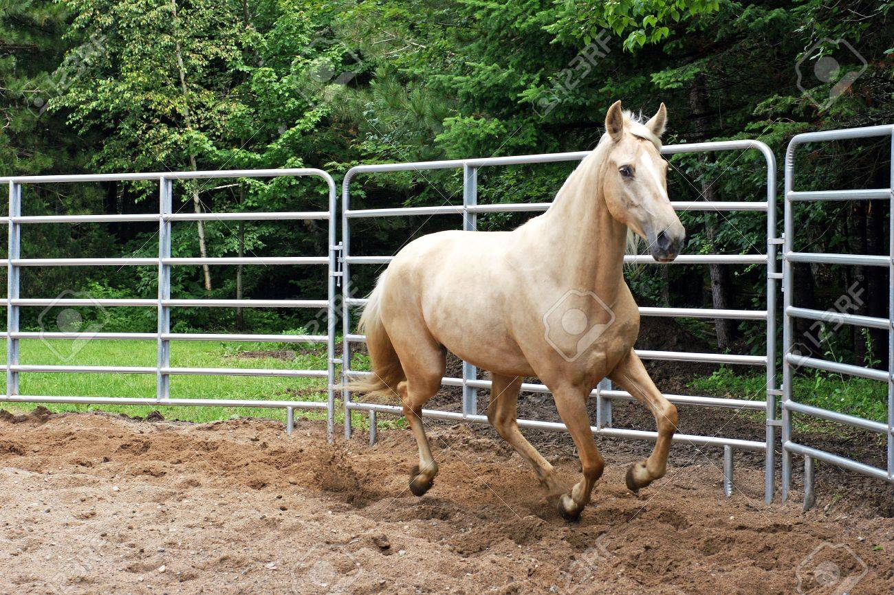Palomino Kentucky Mountain Horse in the Ring - 5408092
