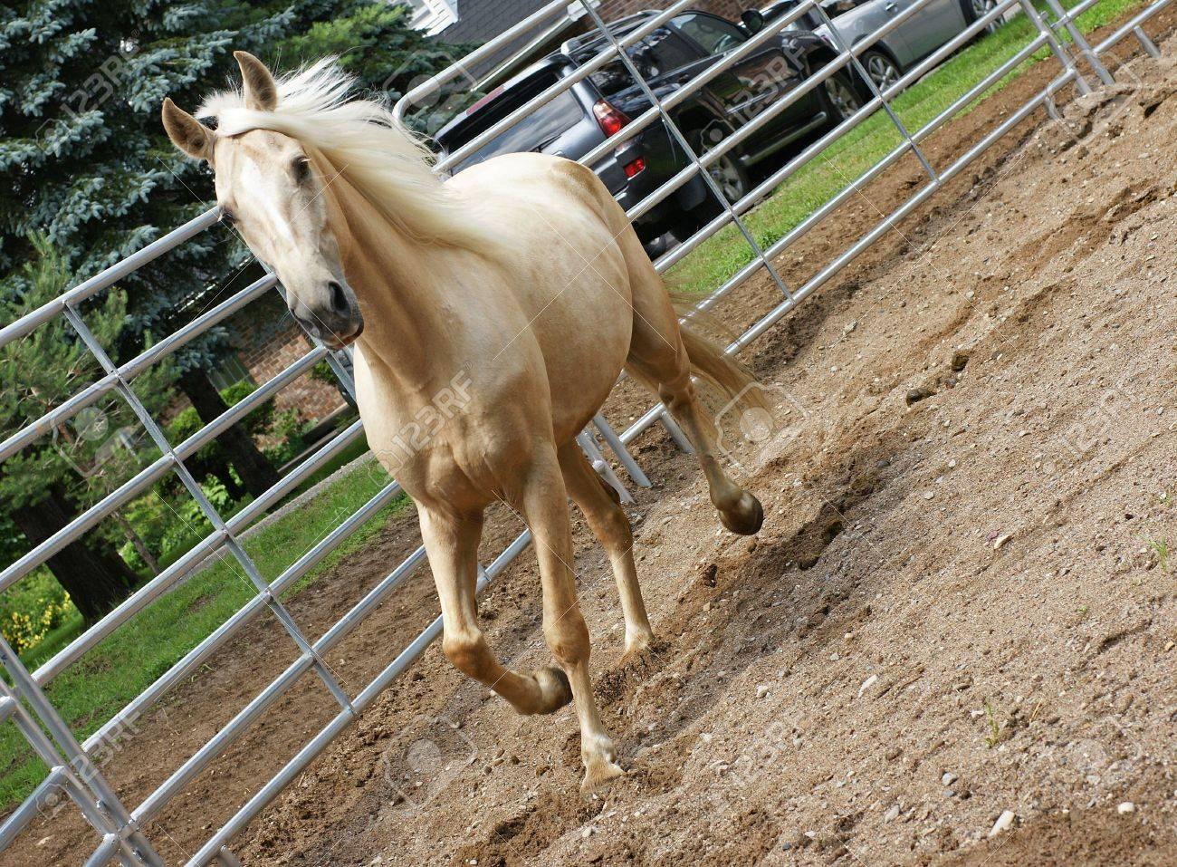 Palomino Kentucky Mountain Horse in the Ring - 5473034
