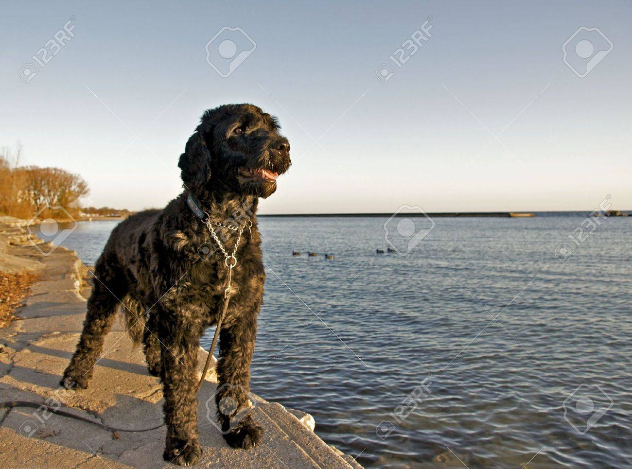 Portuguese Water Dog - 5920754