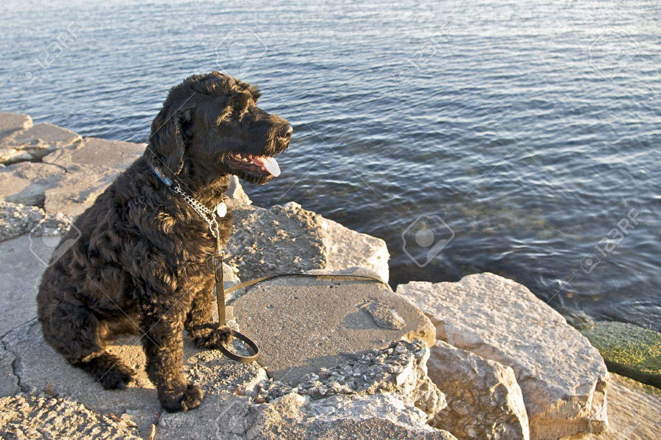 Portuguese Water Dog - 5920756