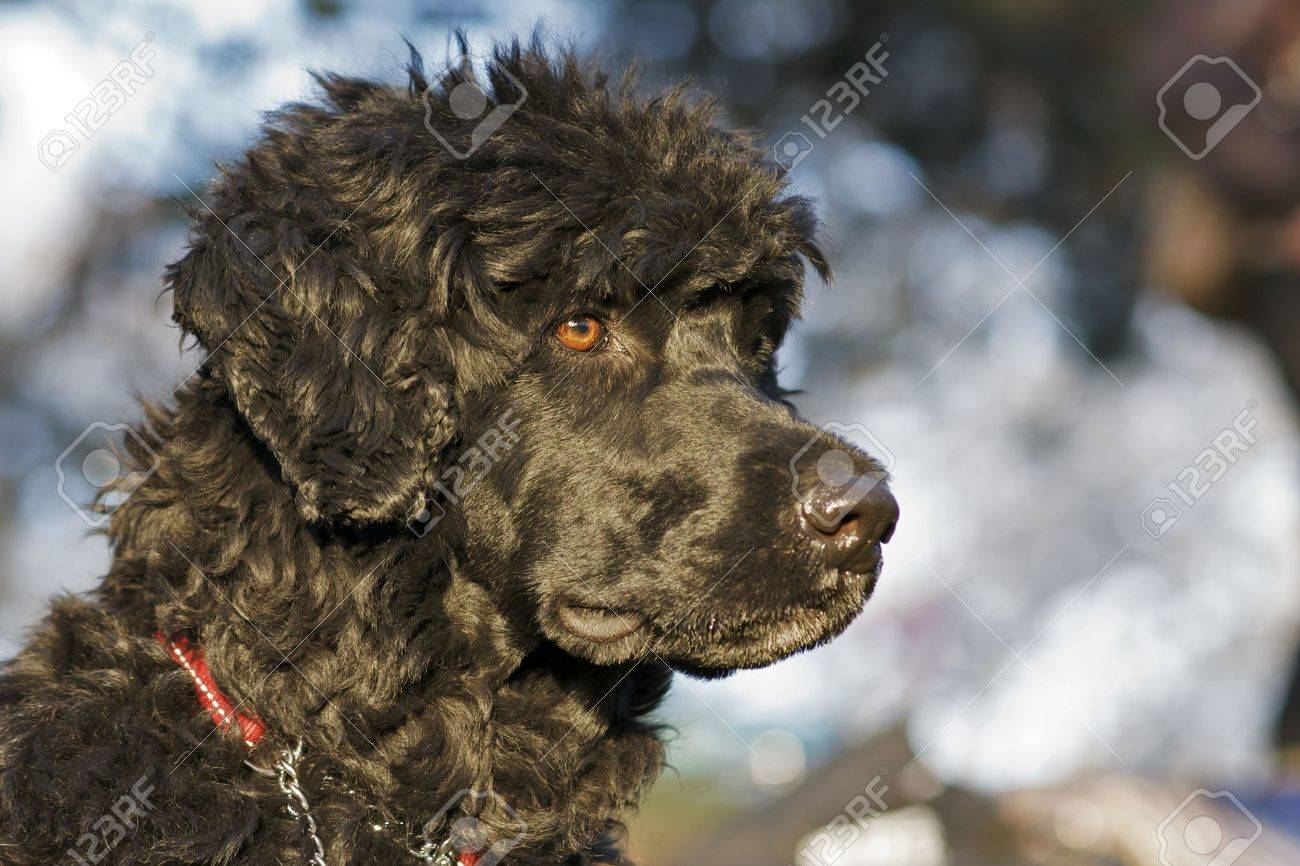 Portuguese Water Dog - 6912223