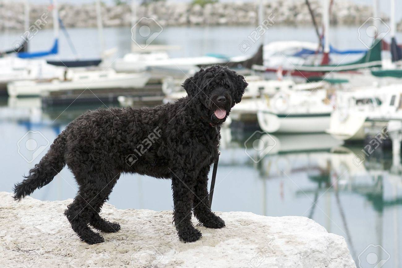 Portuguese Water Dog standing on the rocks by a marina - 7580790