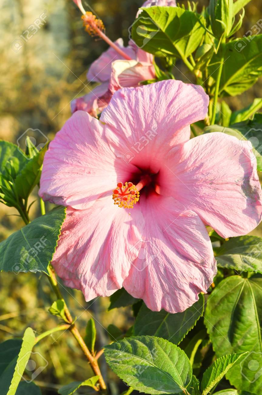 Pink chinese hibiscus flower in garden stock photo picture and pink chinese hibiscus flower in garden stock photo 36232561 izmirmasajfo