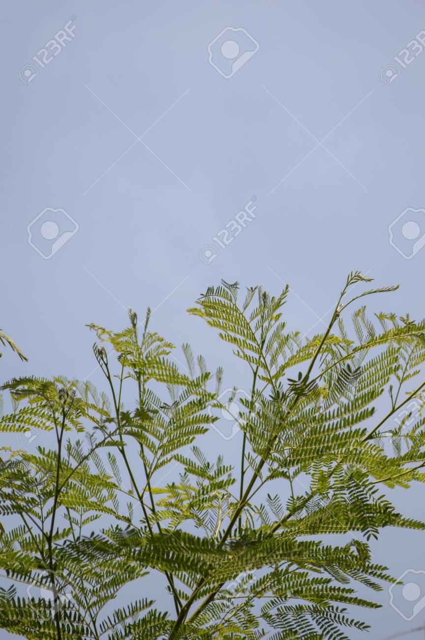 Außergewöhnlich Grünen Akazienbaum Im Garten, Acacia Auriculiformis Cunn #ZA_36