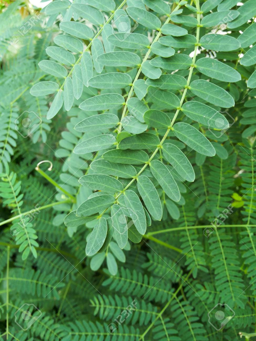 Green Acacia Leaves Stock Photo Picture And Royalty Free Image