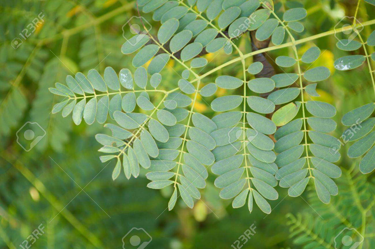 Green Acacia Leaves In Garden Acacia Auriculiformis Cunn Stock