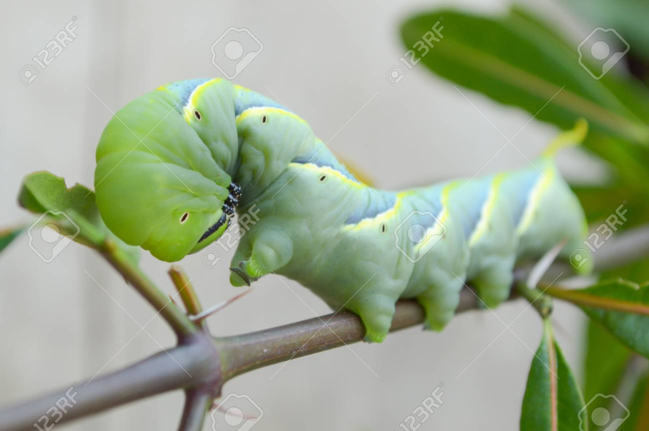 Sưu tập Bộ cánh vẩy  - Page 44 44843505-green-caterpillar-on-limb-pergesa-acteus