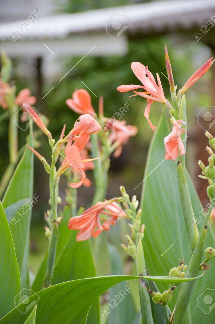 Canna Lily Flower In Garden Stock Photo Picture And Royalty Free