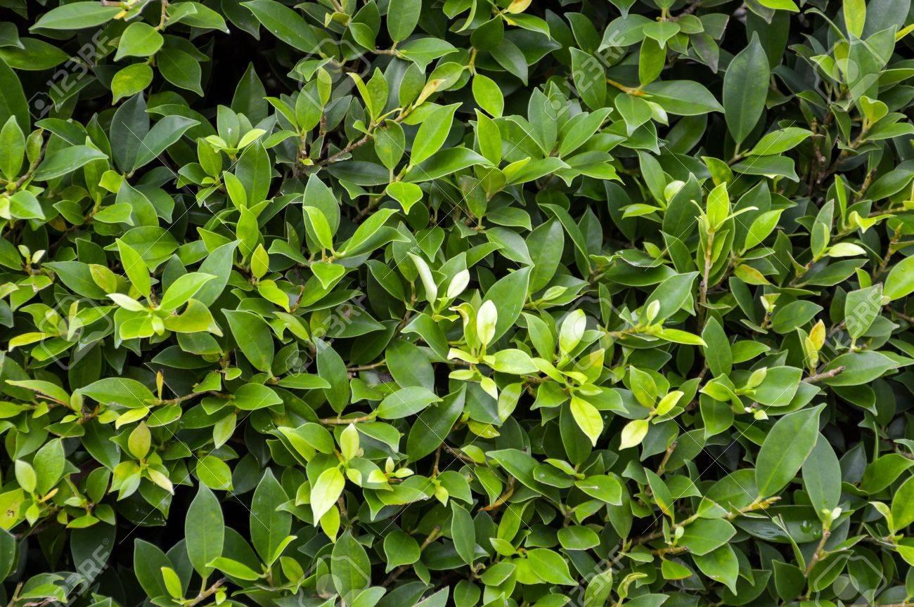 Frische Grüne Ficus Annulata Pflanzen Wand Lizenzfreie Fotos, Bilder ...