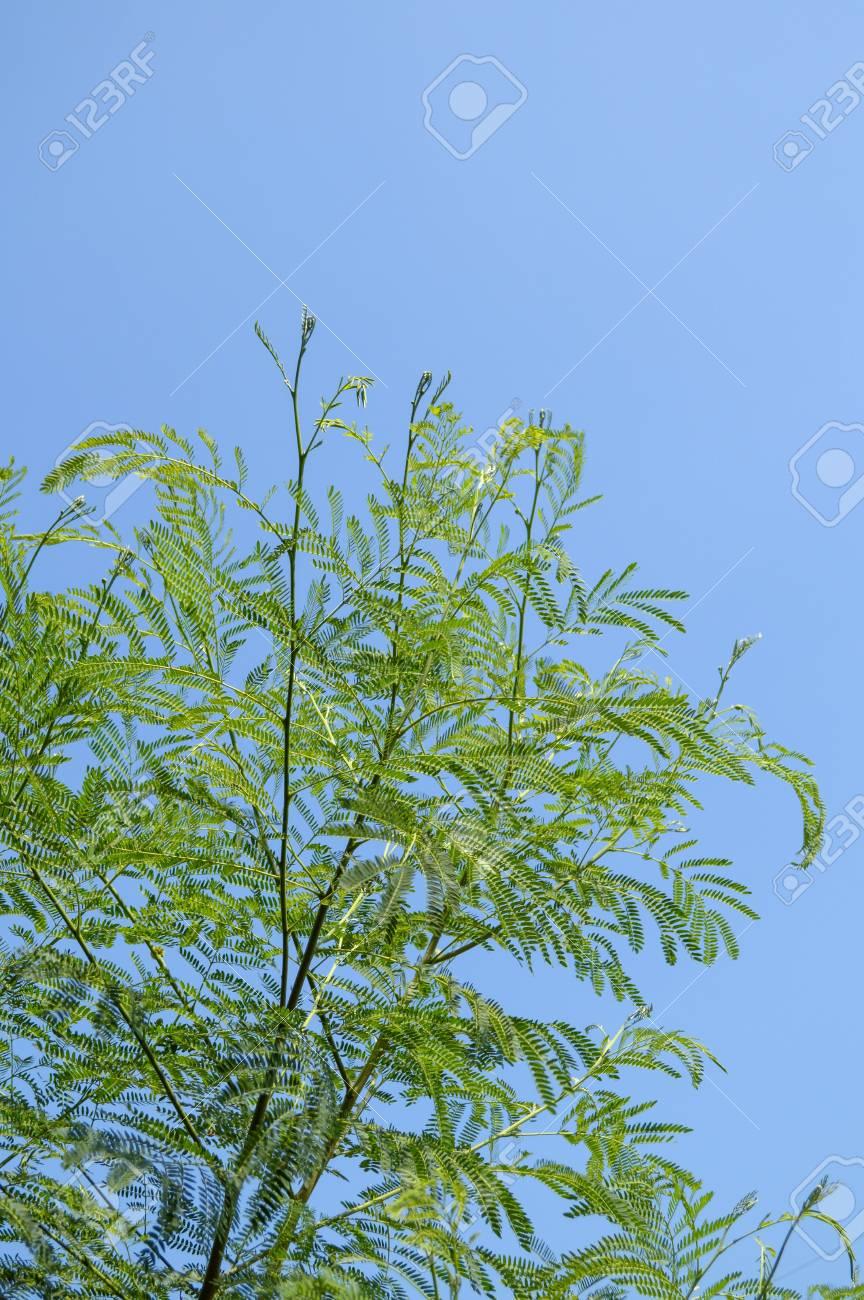 Geliebte Grünen Akazienbaum Im Garten, Acacia Auriculiformis Cunn @QE_96