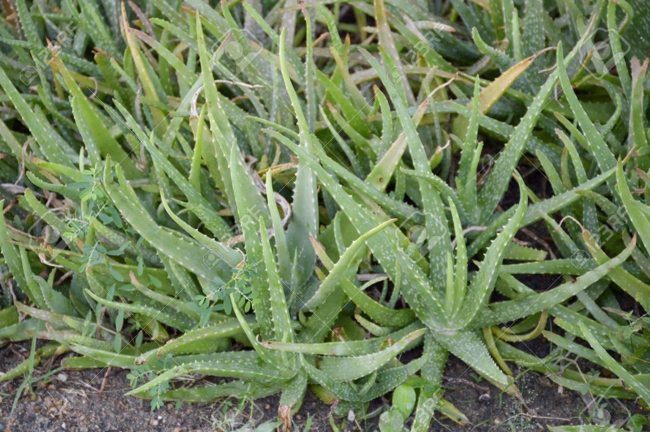 Image Plante Aloe Vera fresh green aloe vera plants in nature garden