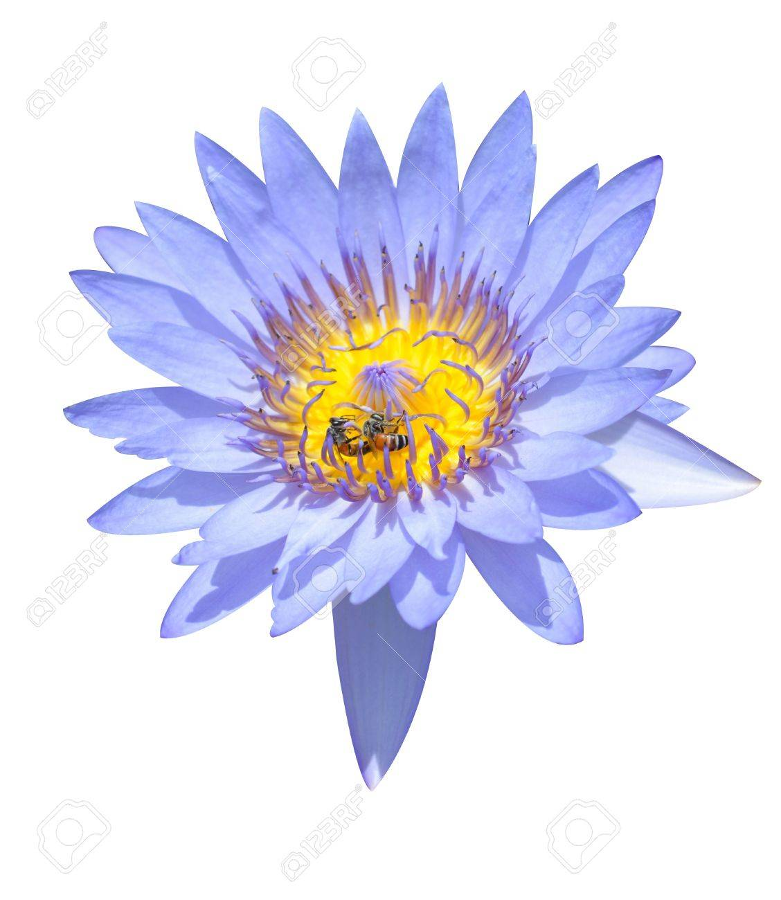 Blue Lotus Flower On White Background Stock Photo Picture And