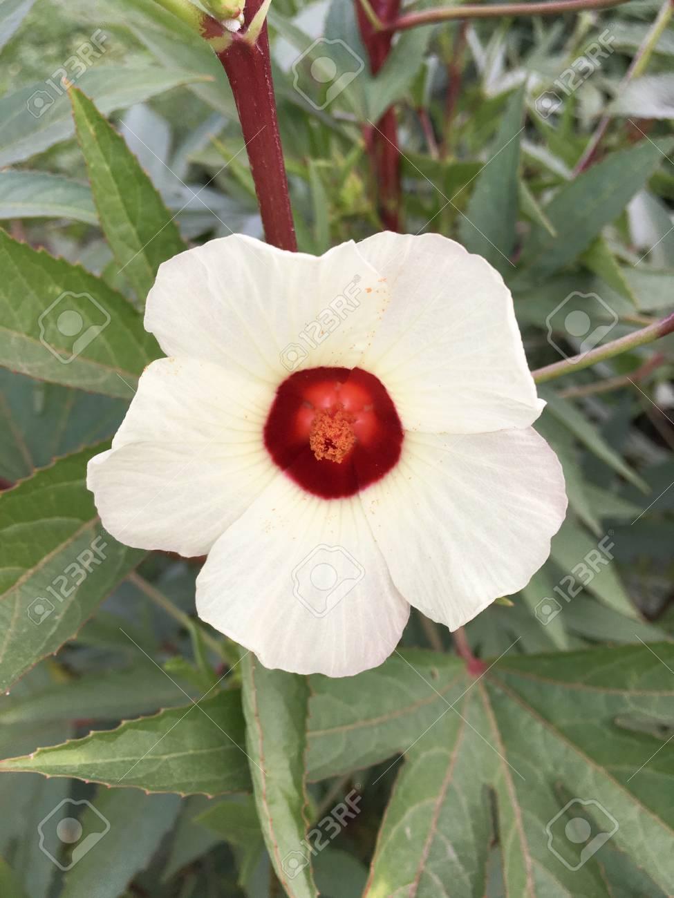 Hibiscus Sabdariffa Flower In Nature Garden Stock Photo Picture And