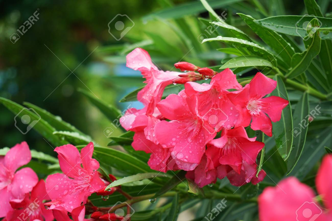 Pink nerium oleander flower in raining day stock photo picture and pink nerium oleander flower in raining day stock photo 87235563 mightylinksfo