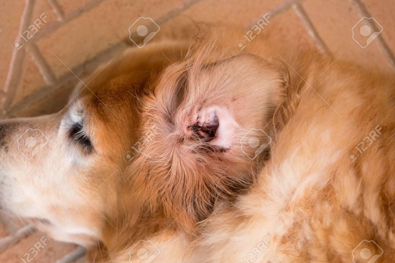Dirty dog's ear - Golden Retriever - 50550602