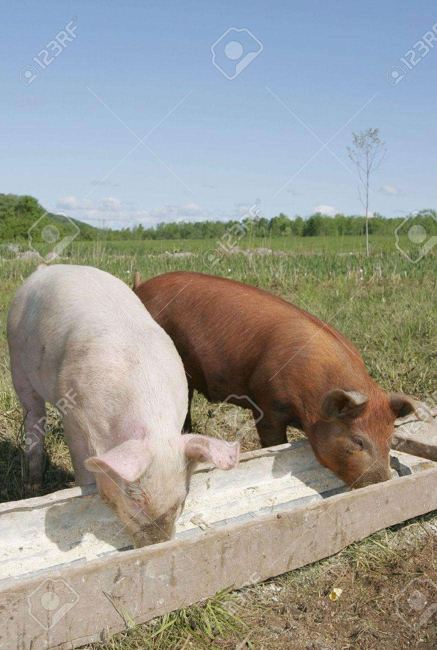 un par de cerdos comiendo en un valle junto  Foto de archivo - 3139413
