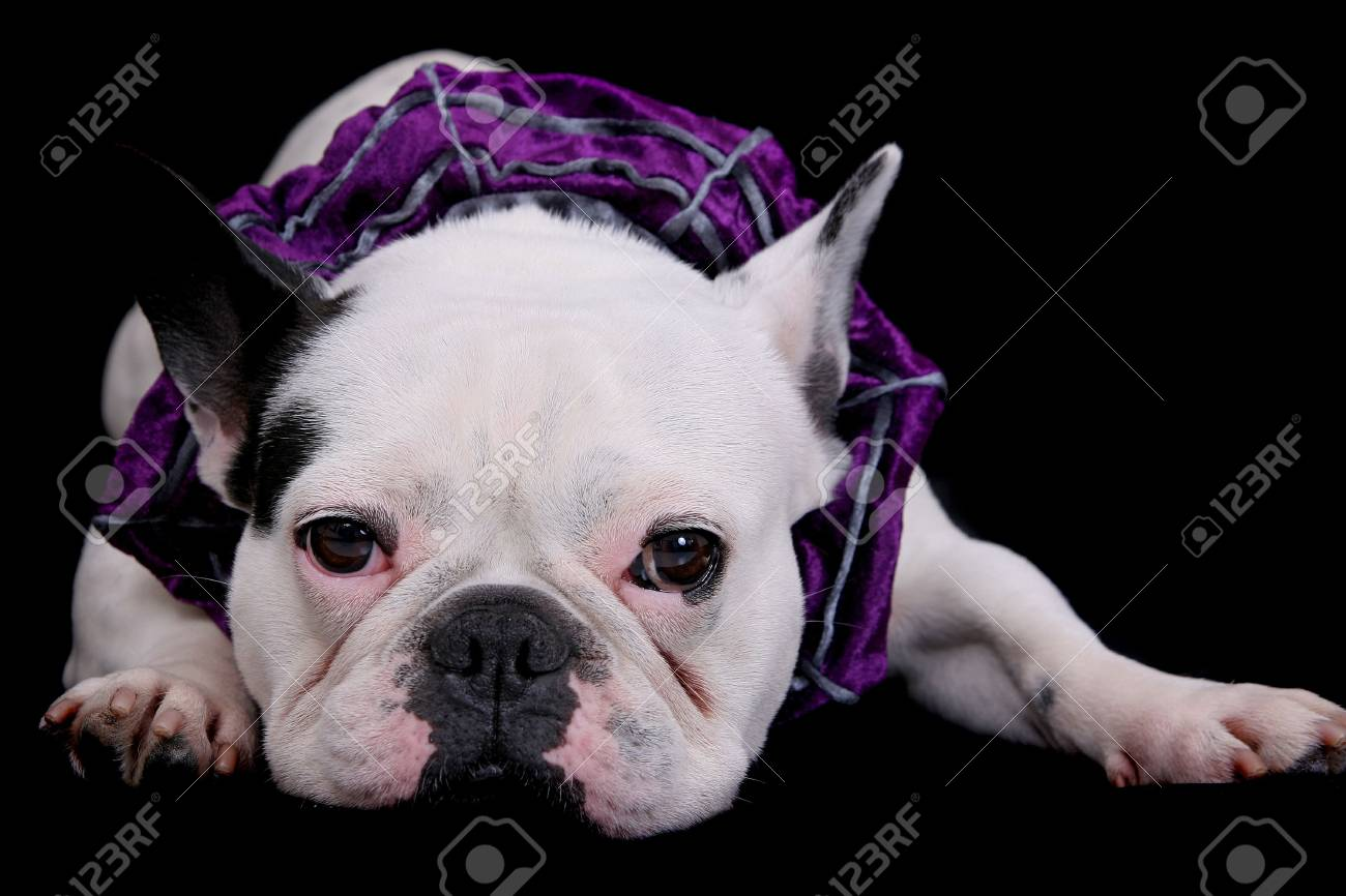 one white bulldog closeup portrait over black Standard-Bild - 4986830