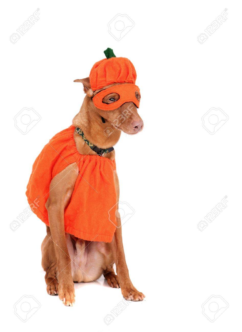 one reddish miniature doberman dressed in a pumpkin costume over white Stock Photo - 4986832  sc 1 st  123RF.com & One Reddish Miniature Doberman Dressed In A Pumpkin Costume Over ...