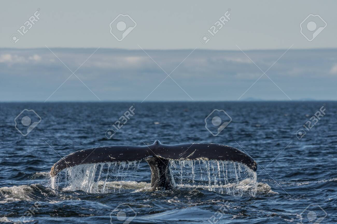 Whale watcing in the St-Laurence river - 131918833