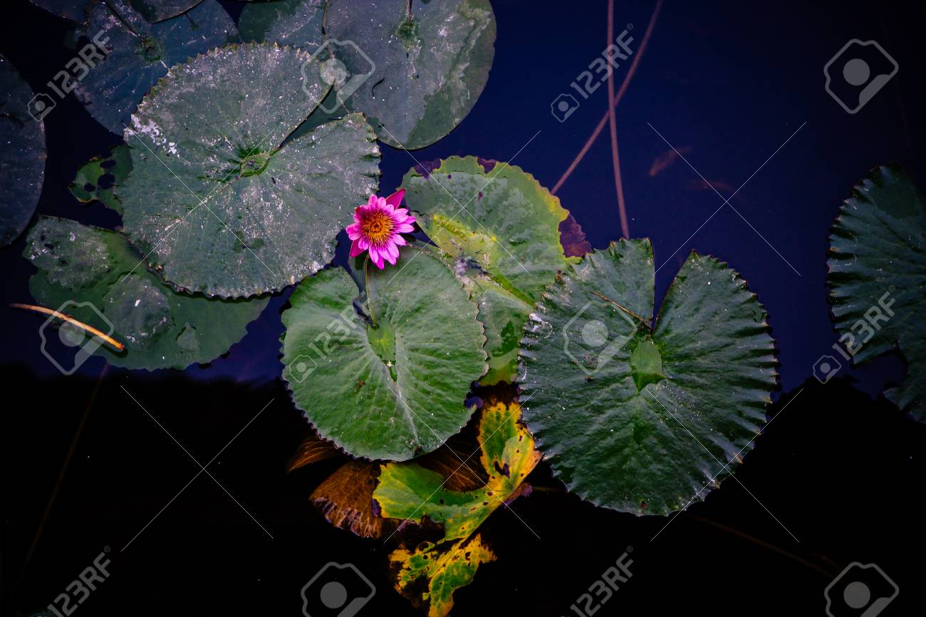 Green Lily Pads With A Single Pink Lotus Flower Floating On The