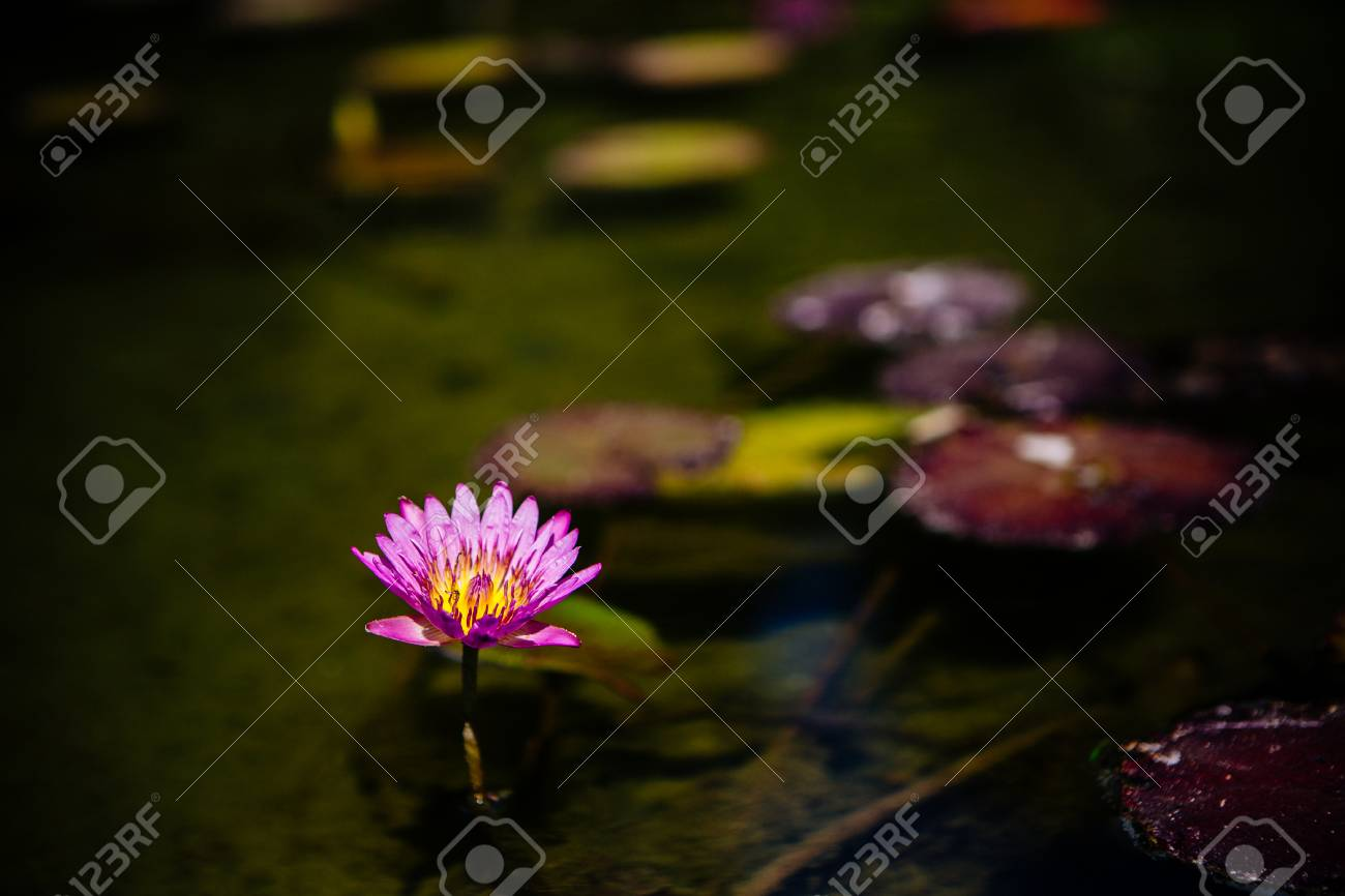 Single Pink Lotus Or Water Lily Flower Illuminated At Night Growing