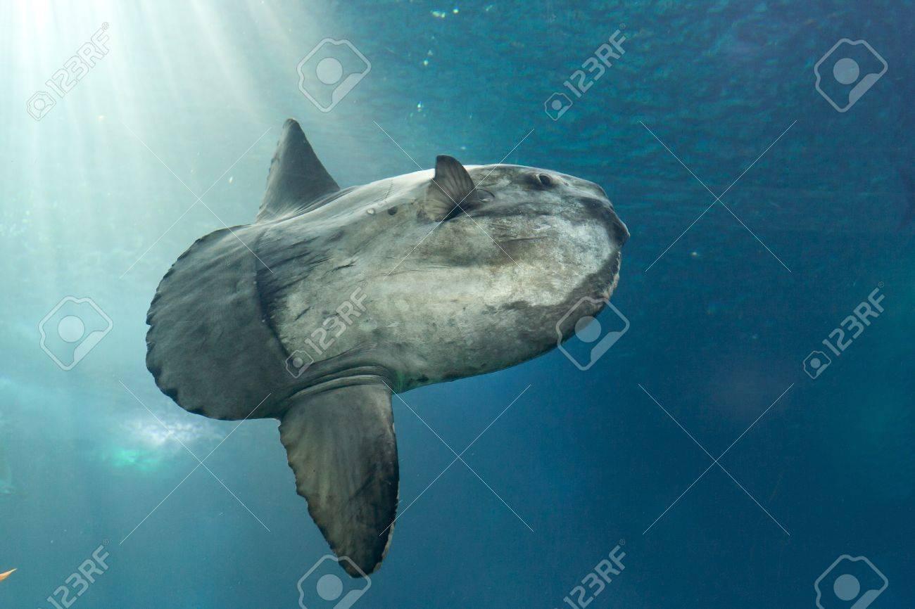 Ocean sunfish  Mola mola  in Lisbon Oceanarium Stock Photo - 12689073
