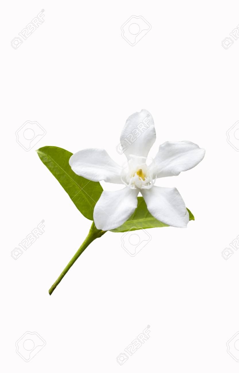 Beautiful white flower with leaf isolated on white background stock beautiful white flower with leaf isolated on white background stock photo 18453521 izmirmasajfo