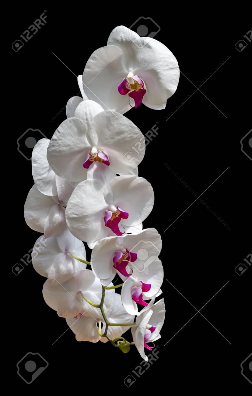 Fiori Orchidea Bianchi.Immagini Stock Bianchi Fiori Di Orchidea Isolato Su Sfondo Nero