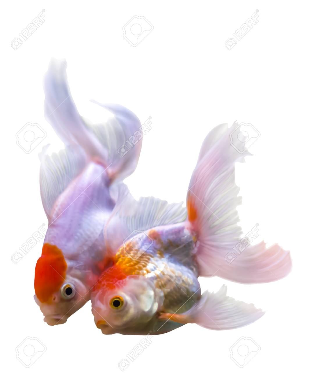 Beautiful two golden fishon white with clipping path Stock Photo - 22992449