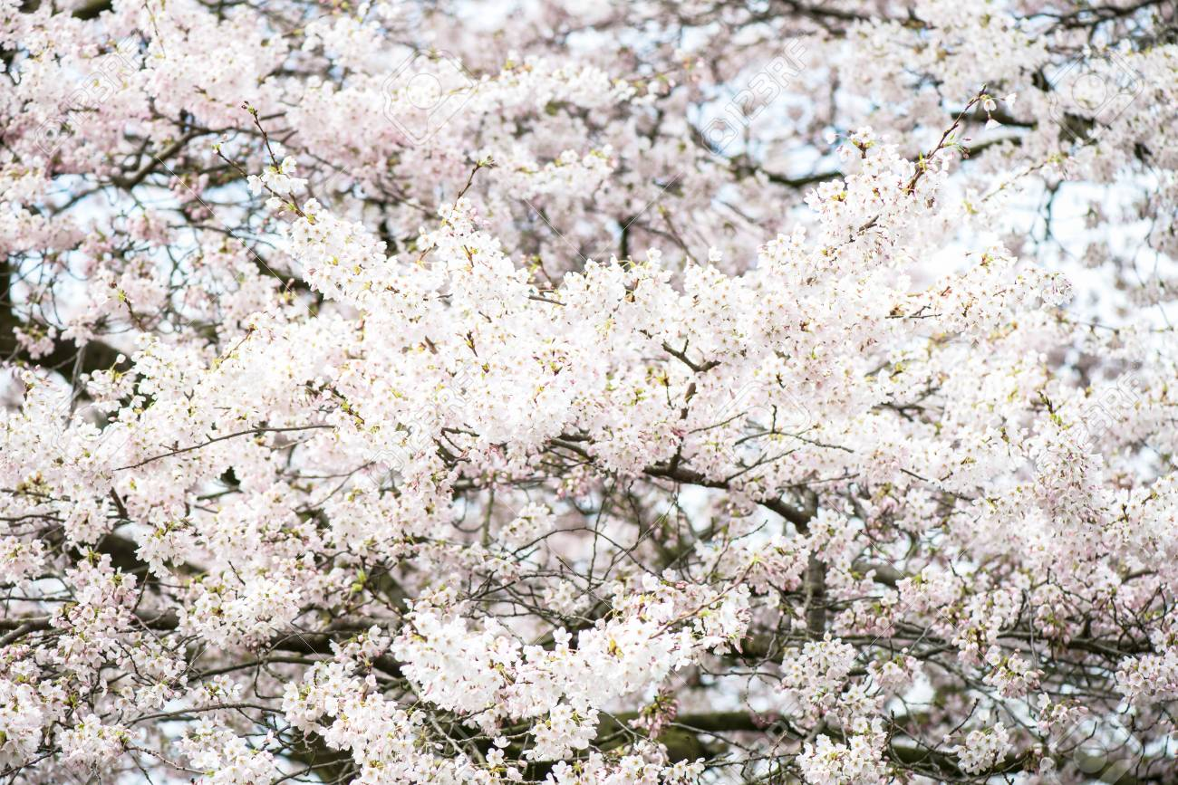 Blooming Tree Branches With White Flowers Cherry Blooming