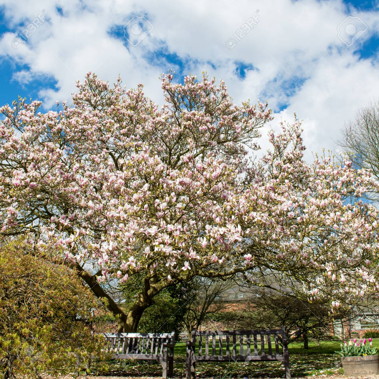 Beautifull Light Pink Magnolia Tree With Blooming Flowers During