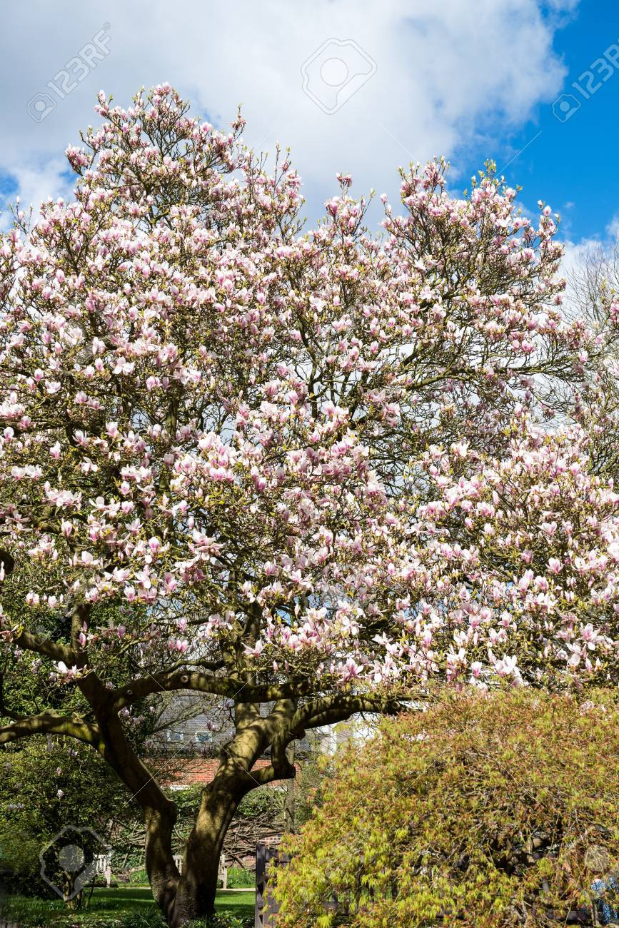Beautifull light pink magnolia tree with blooming flowers during beautifull light pink magnolia tree with blooming flowers during springtime in english garden uk stock mightylinksfo