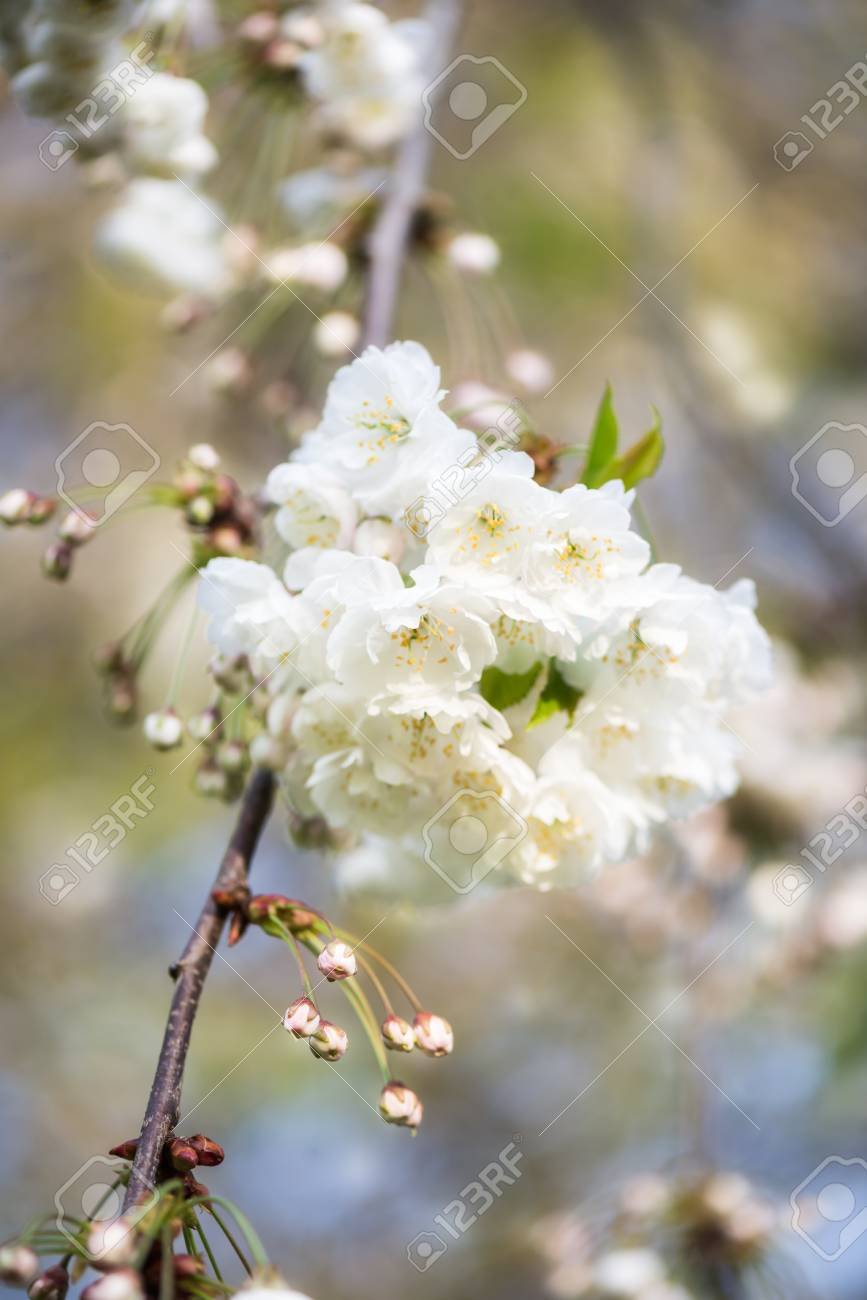 Blooming tree branches with white flowers cherry blooming blooming tree branches with white flowers cherry blooming springtime park in england mightylinksfo
