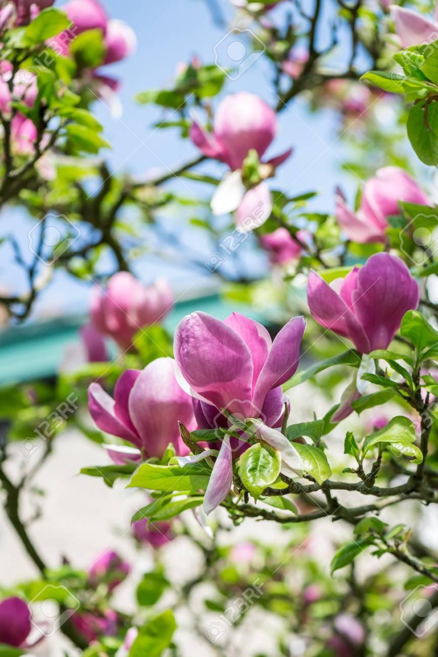 Beautiful Light Pinkpurple Magnolia Tree With Blooming Flowers