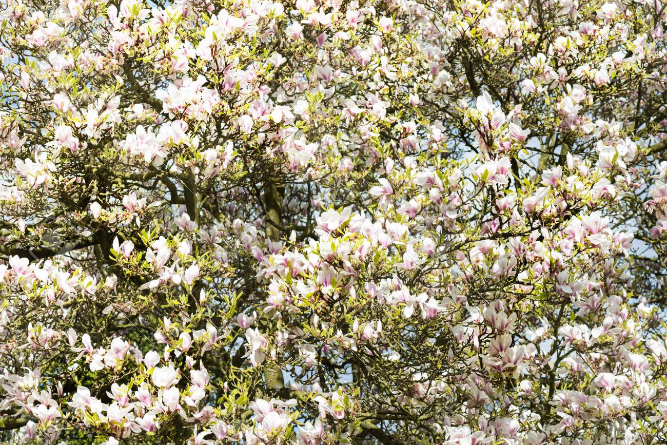 Beautiful Light Pink Or Purple Magnolia Tree With Blooming Flowers