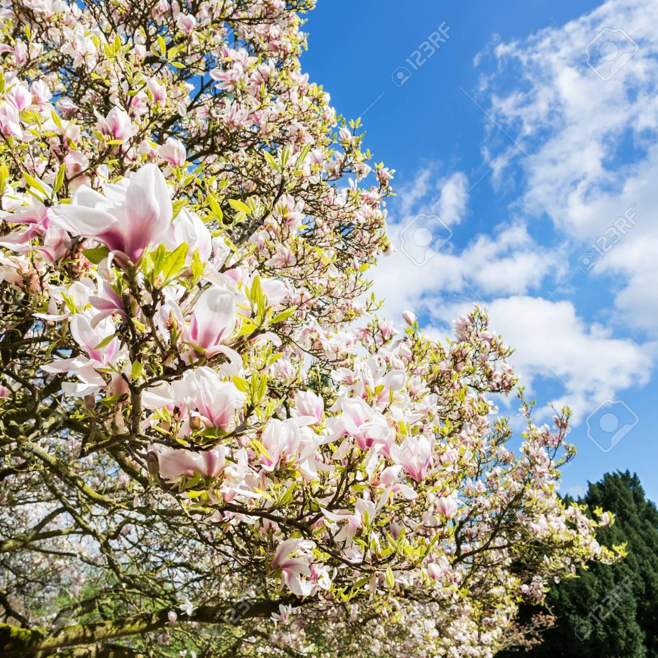 Beautiful light pink or purple magnolia tree with blooming flowers beautiful light pink or purple magnolia tree with blooming flowers during springtime in english garden mightylinksfo