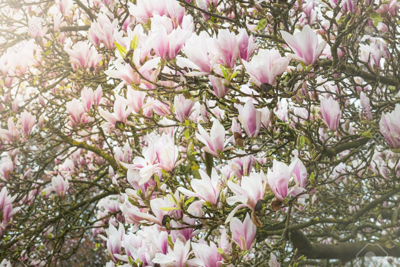 Beautifull light pink magnolia tree with blooming flowers during beautifull light pink magnolia tree with blooming flowers during springtime in english garden uk stock mightylinksfo