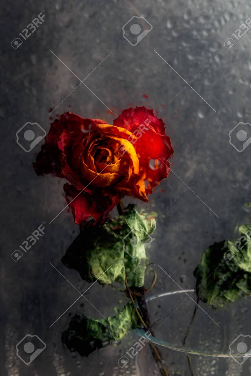 Dried Orange Rose Beautiful Faded Flower Through The Glass With Stock Photo Picture And Royalty Free Image Image 138690905