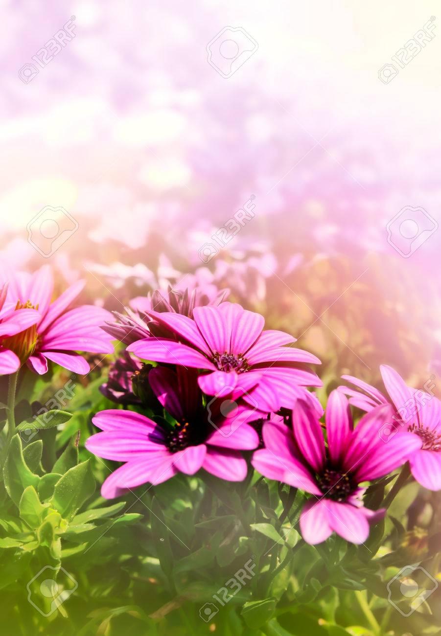 Purple Daisy Flower In Soft Wallpaper Background Stock Photo
