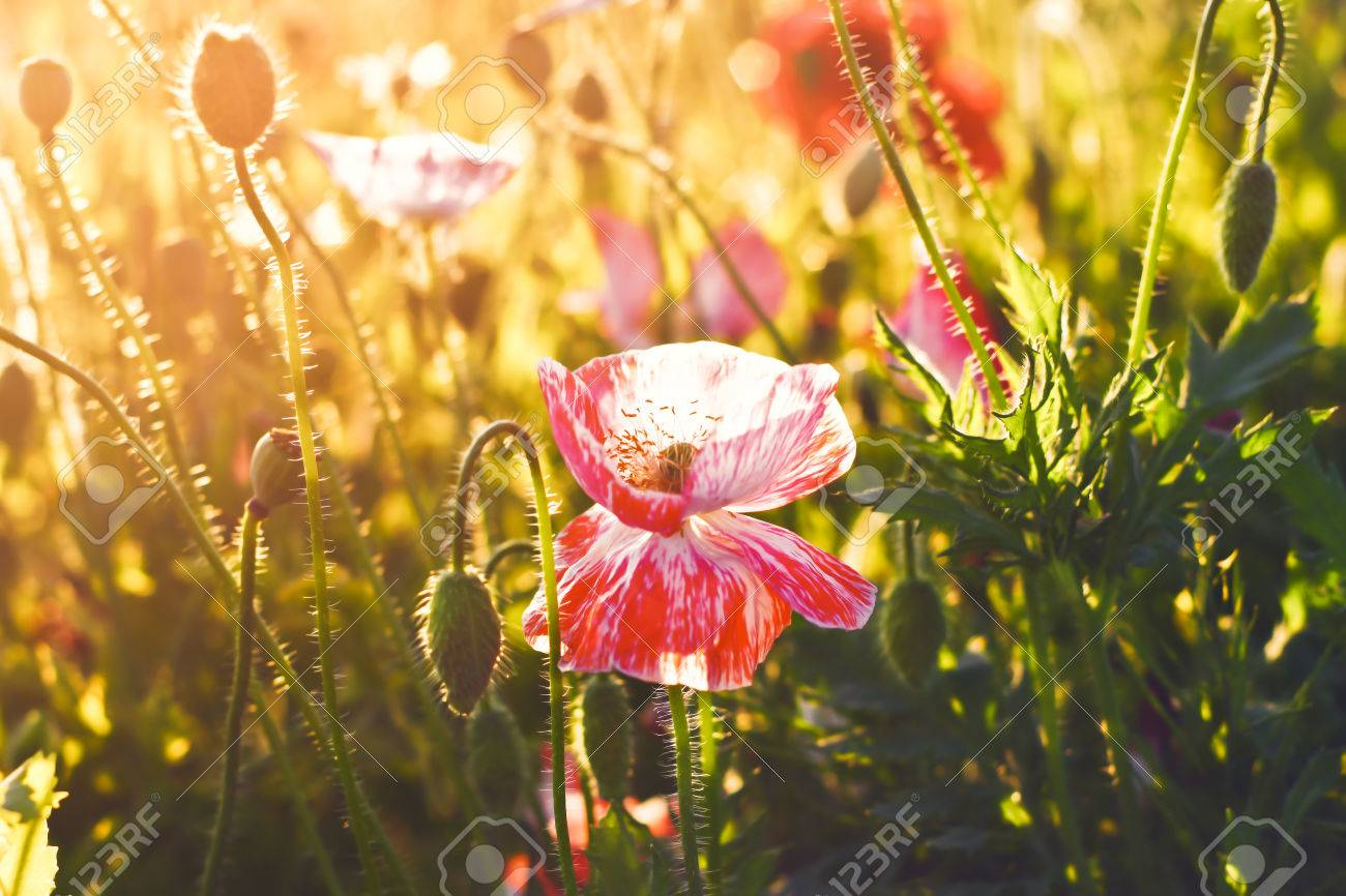 beautiful pink poppy flower scene with sun lighting on filter