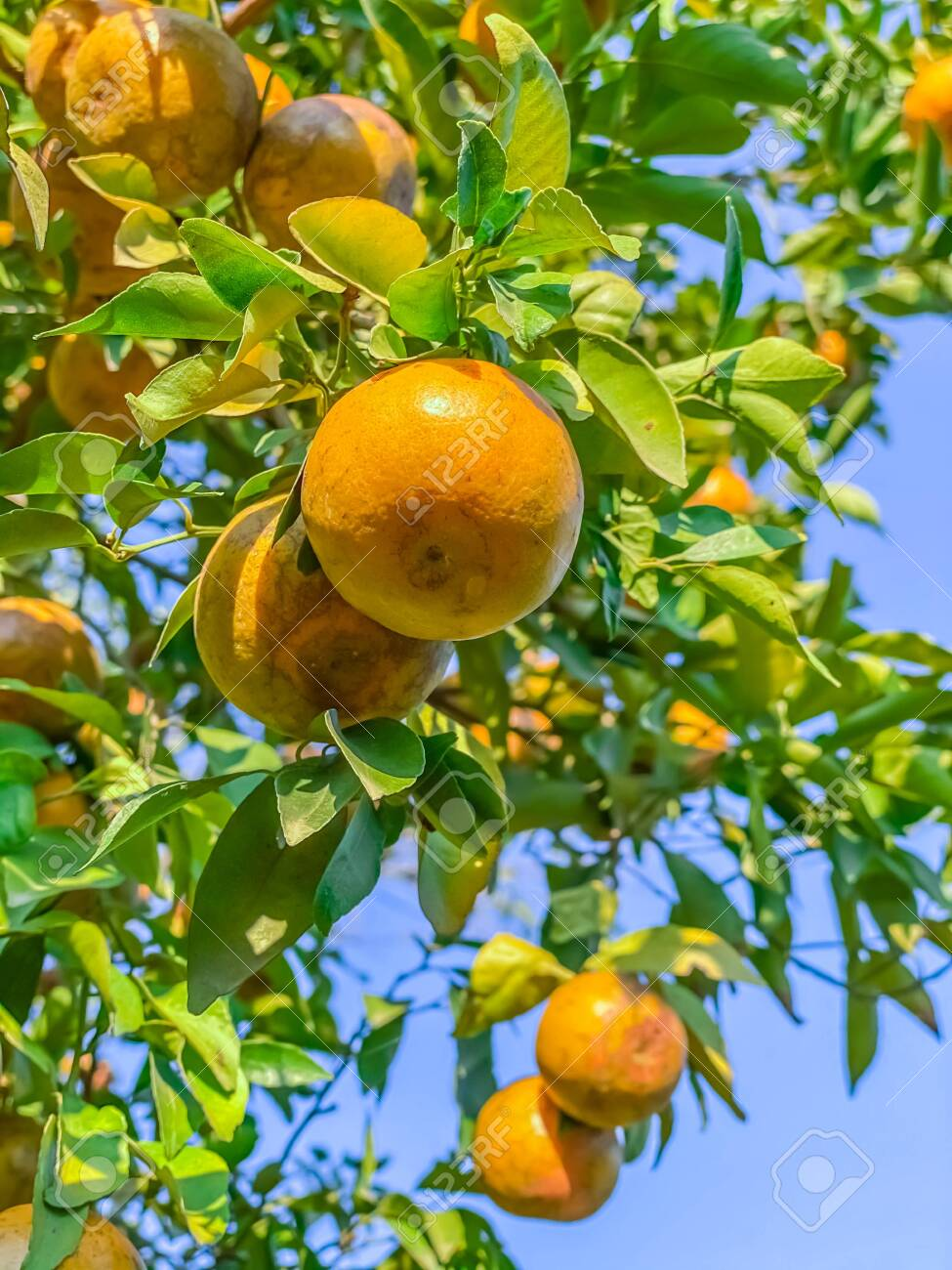 Orange Fruits On Tree Agriculture Scene Nature Wallpaper Backgrounds Stock Photo Picture And Royalty Free Image Image 138579314